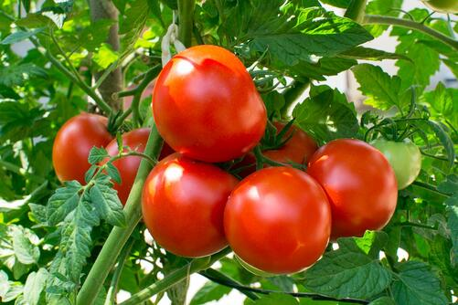 Tomato food quality management